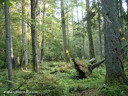 Primeval forest - Bialowieza National Park